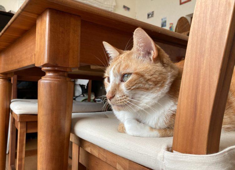 わが家の茶トラ白(茶白)猫